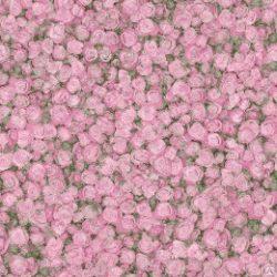 FLEUR_Rose2-1.jpg